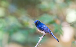Beautiful male Hainan Blue Flycatcher (Cyornis concreta) on bran Royalty Free Stock Photography