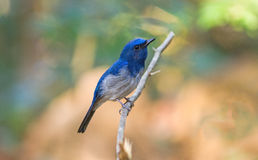 Beautiful male Hainan Blue Flycatcher (Cyornis concreta) sing a Royalty Free Stock Image