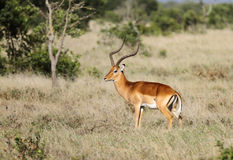 A beautiful male Impala Stock Images