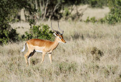 A beautiful male Impala in a open grassland of savannah Stock Photography