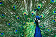 Beautiful male indian peacock Stock Images