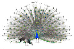 Beautiful Male Indian Peacock displaying tail feathers Isolated On White Background,front view.  royalty free stock photos