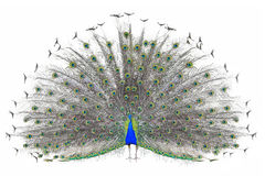 Beautiful Male Indian Peacock displaying tail feathers Isolated On White Background,front view stock image