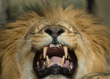 Beautiful male lion Royalty Free Stock Photography
