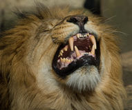 Beautiful male lion Stock Images