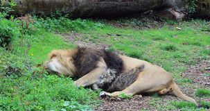 Male Lion Lying Down. Beautiful Male Lion Panthera Leo Lying Down, Close Up View - DCi 4K Resolution stock video footage