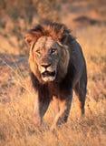 Majestic male Lion walking. Beautiful male lion walking in african bush royalty free stock image
