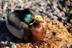 Mallard duck. Beautiful male Mallard duck sitting on pines Stock Photos