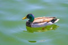 Male Mallard Duck. Beautiful Male Mallard Duck Swimming Royalty Free Stock Image