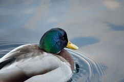Beautiful male mallard duck swimming in harbor Stock Image