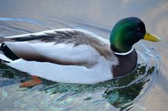 Beautiful male mallard duck swimming in harbor Stock Photography
