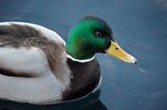 Beautiful male mallard duck swimming in harbor. In wintertime Royalty Free Stock Photos