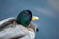 Beautiful male mallard duck swimming in harbor Royalty Free Stock Image