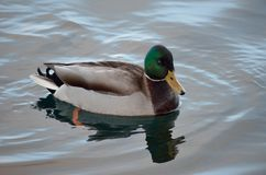Beautiful male mallard duck swimming in harbor. In wintertime Royalty Free Stock Photography