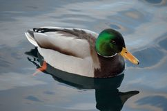 Beautiful male mallard duck swimming in harbor. In wintertime Royalty Free Stock Images