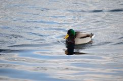 Beautiful male mallard duck swimming in harbor Royalty Free Stock Photos