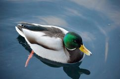 Beautiful male mallard duck swimming in harbor. In wintertime Stock Images
