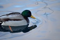 Beautiful male mallard duck swimming in harbor Stock Photos