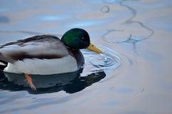Beautiful male mallard duck swimming in harbor. In wintertime Stock Photos