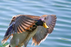 Male Mallard Duck. Beautiful Male Mallard Duck Swimming Royalty Free Stock Photos