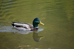 Beautiful male mallard duck swimming in pond. Beautiful male mallard duck in pond Stock Photos