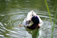 Beautiful male mallard duck swimming in pond. Beautiful male mallard duck in pond Royalty Free Stock Photo