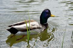 Beautiful male mallard duck swimming in pond. Close up Royalty Free Stock Photo