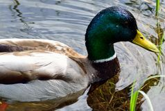 Beautiful male mallard duck swimming in pond. Close up Royalty Free Stock Image