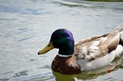 Beautiful male mallard duck swimming in pond. Close up Stock Photo