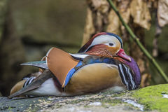 Beautiful male Mandarin Duck (Aix galericulata) Royalty Free Stock Photos