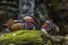 Beautiful male Mandarin Duck (Aix galericulata) Stock Photos