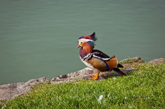 Beautiful male Mandarin Duck (Aix galericulata) Stock Photos