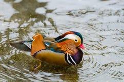 A beautiful male mandarin duck Stock Photos