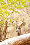 Beautiful Male Mule Deer in Woods. Head of a beautiful large male mule deer with antlers peeking from behind a tree log in the woods in Zion Canyon, Utah, USA stock photos