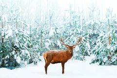 Free Beautiful Male Noble Deer And Christmas Tree In The Snow In The Winter Forest. Winter Natural Background. Christmas Image Royalty Free Stock Photos - 124399588