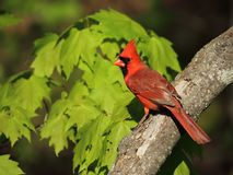 Beautiful male northern cardinal. Perched on tree branch Royalty Free Stock Photos