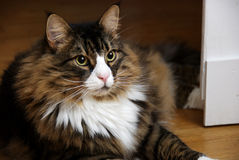 Beautiful Male Norwegian Forest Cat With Wide Eyes. A.v.E., a beautiful male Norwegian Forest Cat lying on wooden floor. The cat has a white nose and V-neck and Stock Photos