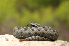 Beautiful male nose horned viper on a rock Royalty Free Stock Images