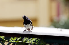 Beautiful male Oriental Magpie-Robin gazing Stock Photography