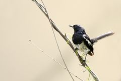 Beautiful male Oriental Magpie-Robin sitting on wire Stock Photo