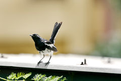 A beautiful male Oriental Magpie-Robin Stock Photo