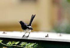 A beautiful male Oriental Magpie-Robin Royalty Free Stock Photos