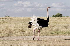 A beautiful male Ostrich Royalty Free Stock Image