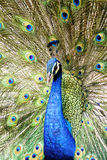 Beautiful male peacock Stock Photography