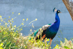 Beautiful male peacock with blue neck Stock Images