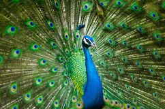 Beautiful Male Peacock, Colorful Royalty Free Stock Image