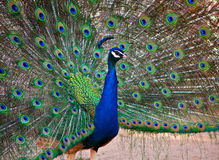 A Beautiful Male Peacock Display Royalty Free Stock Images