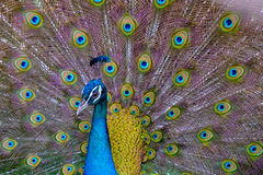 A beautiful male peacock with expanded feather, animal backgroun Stock Photo
