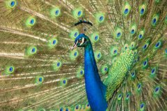Peacock. Beautiful male peacock with feathers out Royalty Free Stock Photos