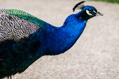 A beautiful male peacock showing its wheel Royalty Free Stock Photography